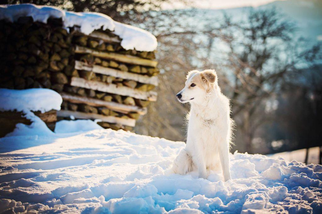 Tina King Die Fotogräfin Wolf im Schafspelz Hund sitzt im Schnee und schaut nach rechts